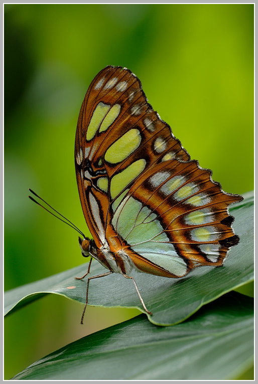 Malachitfalter (Siproeta stelenes)