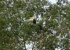 Malaien Hornvogel