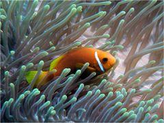 Maldives clownfish