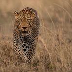 Male Leo