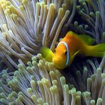 Malediven-Anemonenfisch (Amphiprion nigripes)