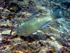 Malediven - Scarus Frenatus mit Labrichthyini