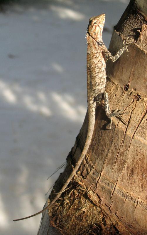 maledivische eidechse