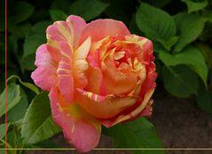 """Malerrose """"Rose des Cisterciens"""""""