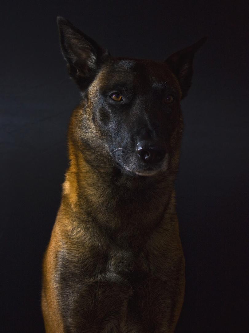 Malinois Lowkey Portrait