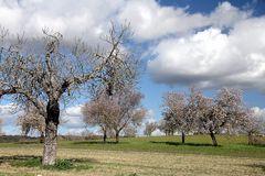 Mallorca Mandelblüte 1