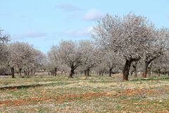 Mallorca Mandelblüte 2