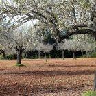 Mallorca Mandelblüte 3