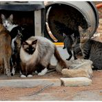 Mallorca, Puerto Pollenca, encuentro de los gatos (Katzentreffen)