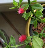 Malta Blume/Pflanze (beantwortet von El Suizo)