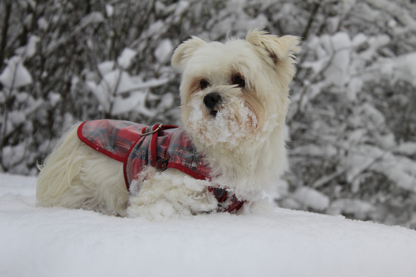 Malteser im Schnee