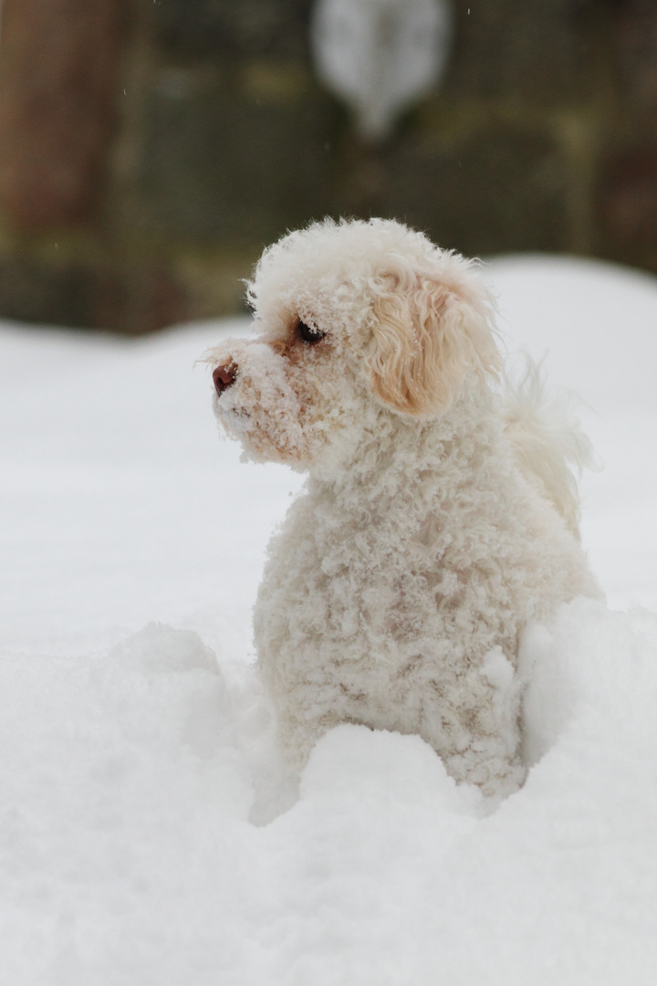 Maltipoo Lola im Schnee I