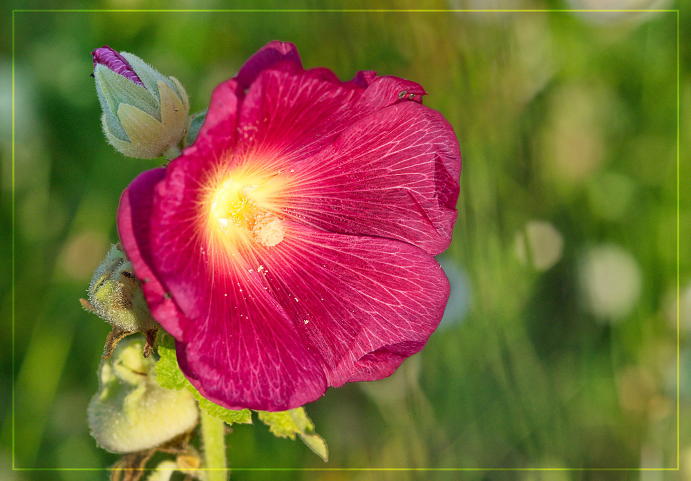 Malvenblüte in der Abendsonne