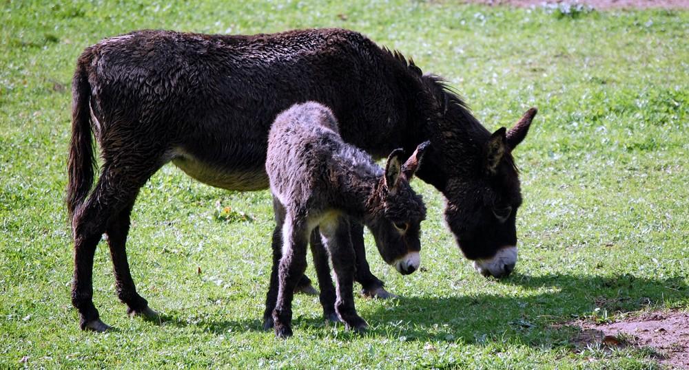 Mama burro y su bebe