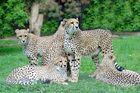 Mama Gepard mit Nachwuchs