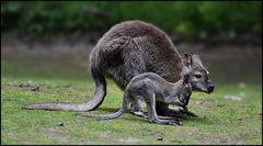 Mama KANGU & Baby RU !?!