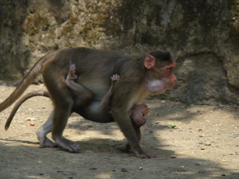 maman singe et son petit