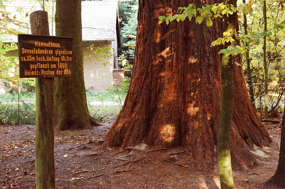 Mammut Baum in Oberursel