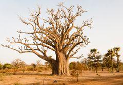 Mammutbaum (Baobab)