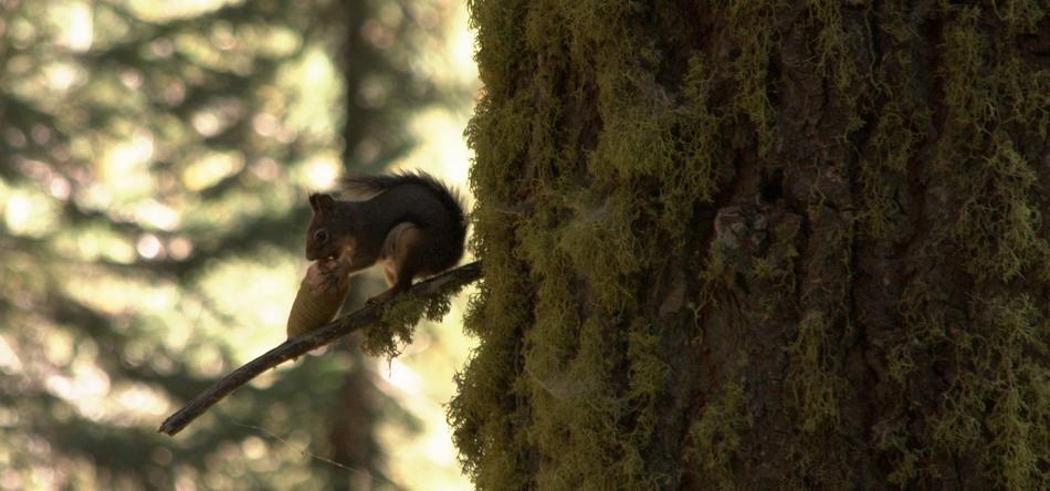 mammutbaum bewohner foto bild tiere wildlife s ugetiere bilder auf fotocommunity. Black Bedroom Furniture Sets. Home Design Ideas