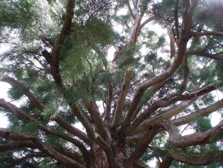 mammutbaum in die Äste nach oben rein foto & bild | pflanzen, pilze