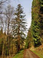 Mammutbaum in Weinheimerexotenwald