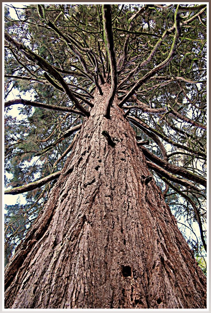 Mammutbaum (Königswinter)