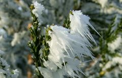 Mammutbaum (Winterdetail)