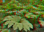 Mammutblatt (Gunnera manicata) (3D für Rot/Cyan Brille)