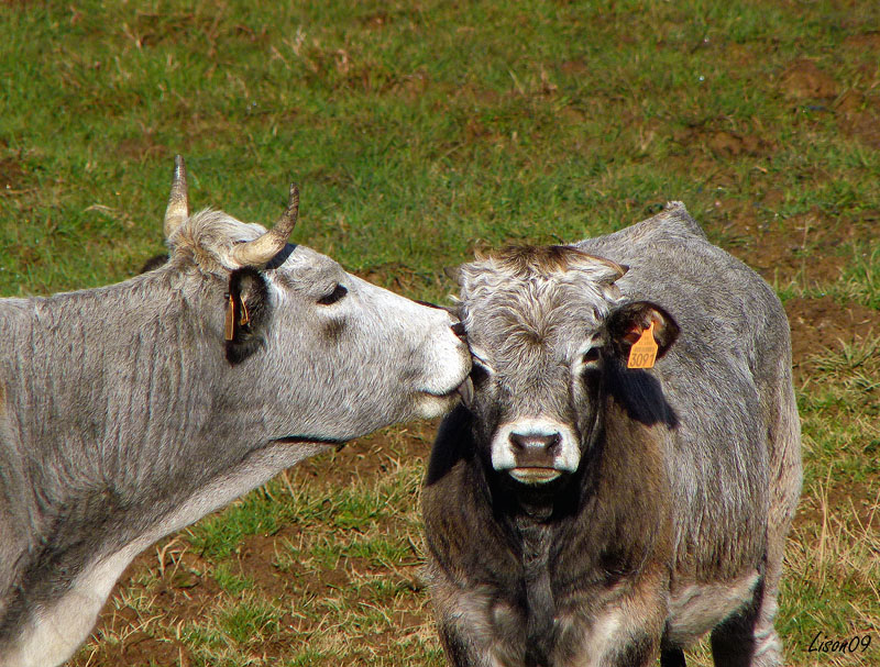 Mamours vaches