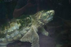 """man hat sie """"Geierwally"""" genannt - die Schnappschildkröte"""