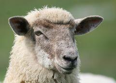 Man kann durchaus ein Schaf sein...