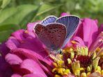 Man trägt Pelz bei Schmetterlings