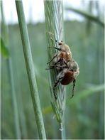 Manche mögens heiß - Käferreigen