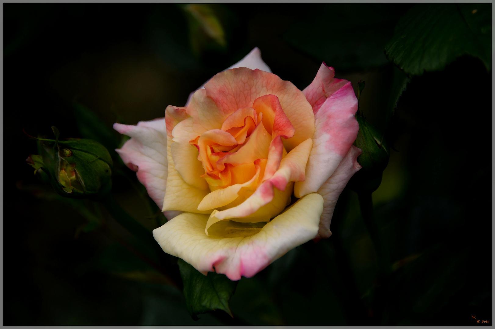 Manchmal müssen es Rosen sein