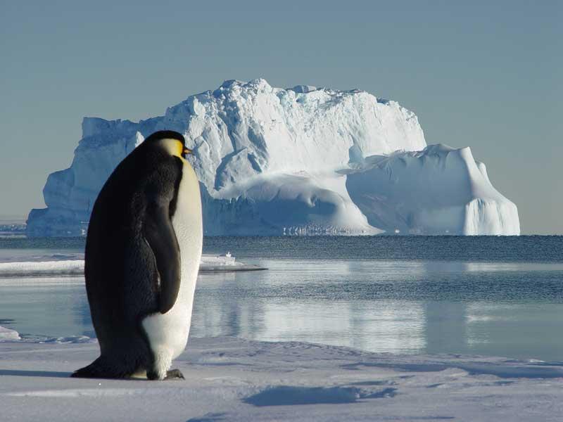 manchot empereur sur fond de iceberg