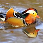 Mandarin Duck - an exotic touch