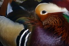 Mandarin Duck Portrait