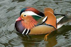 Mandarin-Ente