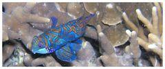 Mandarin Fisch