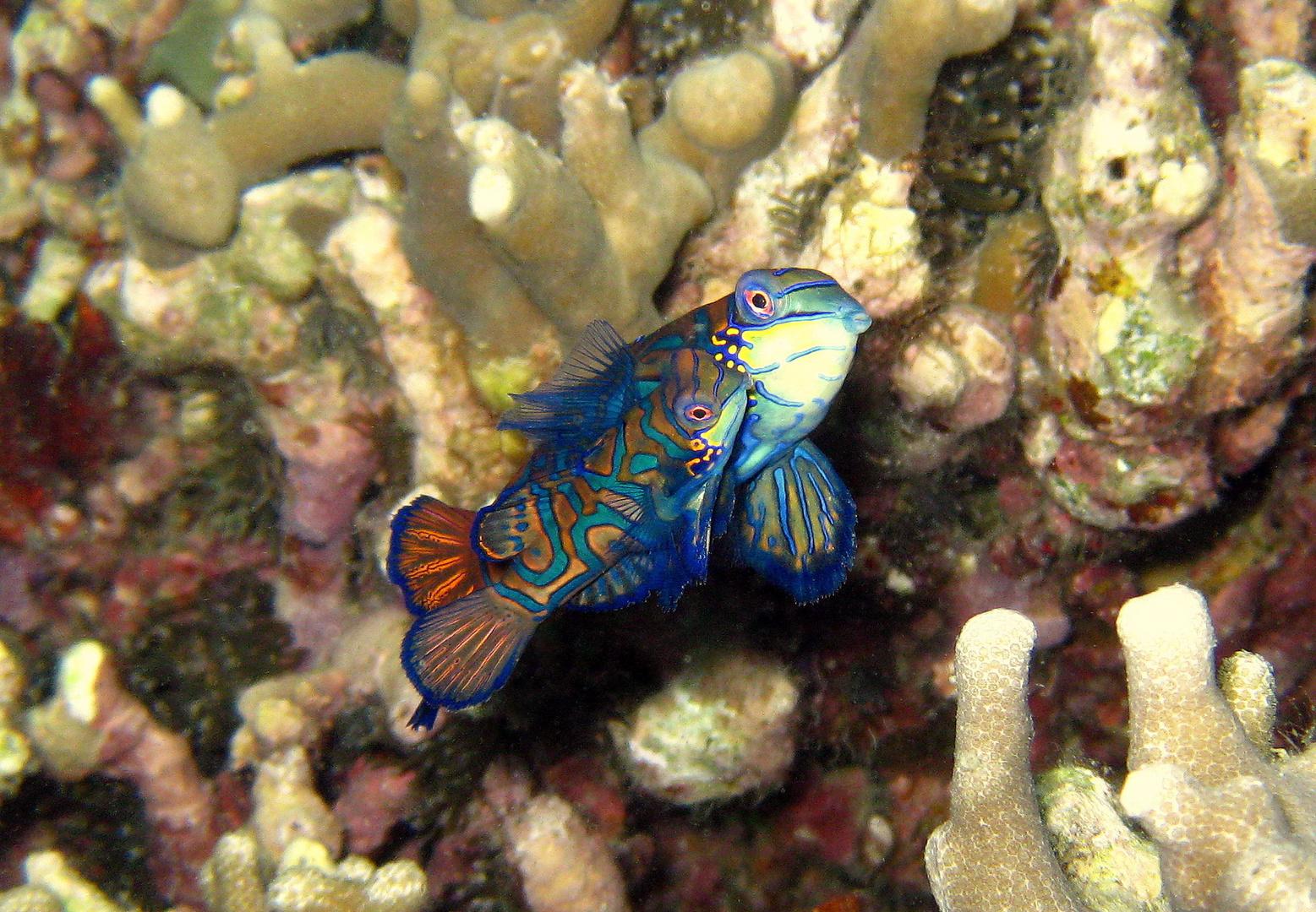 Mandarin-Fische bei der Paarung