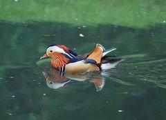 Mandarin Männchen