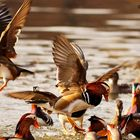 Mandarine Ducks in flight