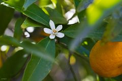 Mandarine mit Blüte