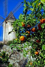 Mandarinen im Dezember - Mandarinas en diciembre