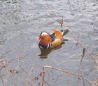 Mandarinenente in Potsdam