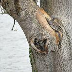 Mandarinente im Baum