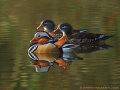 Mandarinenten in Formation