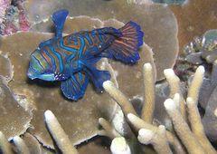 Mandarinfisch (Synchiropos splendidus)
