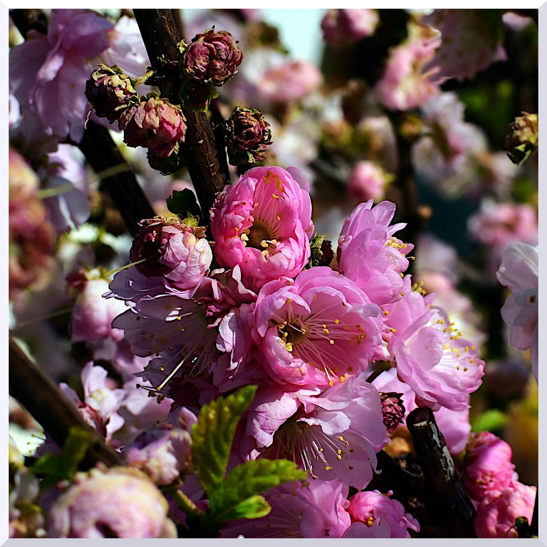 mandelbÄumchen foto  bild  pflanzen pilze  flechten